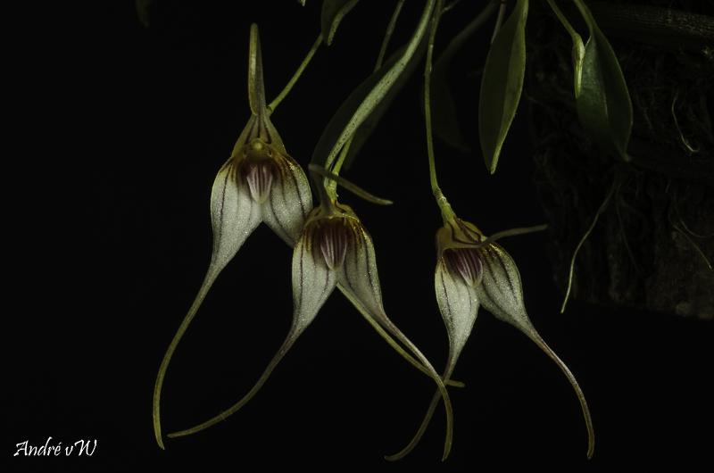 Miniatur-Orchideen Teil 5 - Seite 40 Masde144