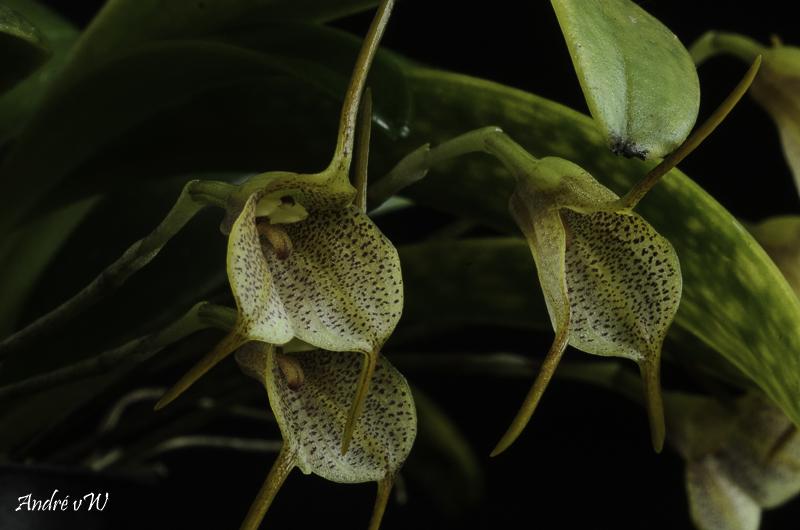 Miniatur-Orchideen Teil 6 - Seite 2 Masde147