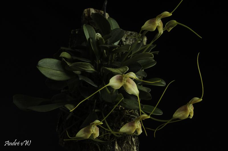 Miniatur-Orchideen Teil 6 - Seite 5 Masde150