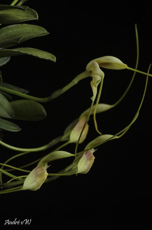 Miniatur-Orchideen Teil 6 - Seite 5 Masde151