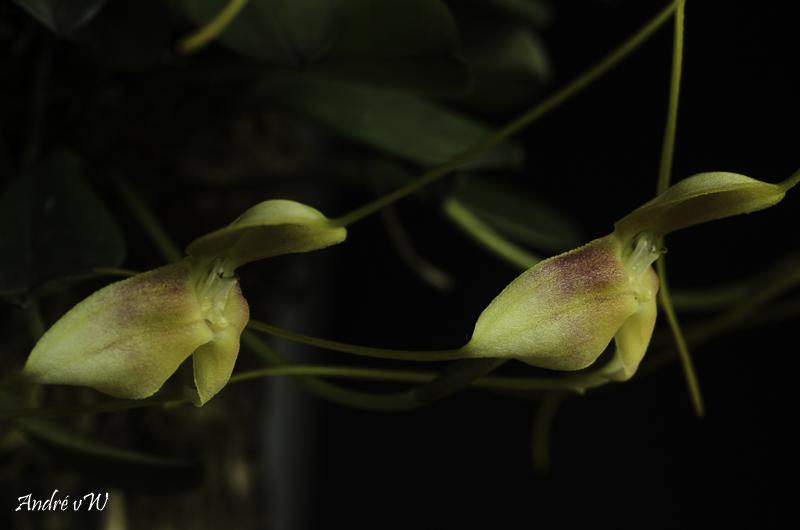 Miniatur-Orchideen Teil 6 - Seite 5 Masde153