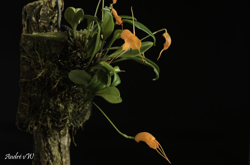 Miniatur-Orchideen Teil 6 - Seite 5 Masde154