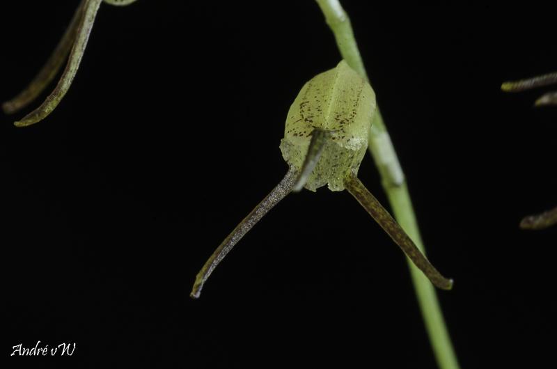 Miniatur-Orchideen Teil 6 - Seite 6 Masde159