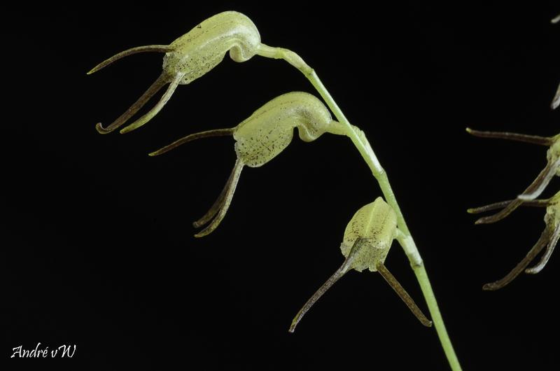 Miniatur-Orchideen Teil 6 - Seite 6 Masde160