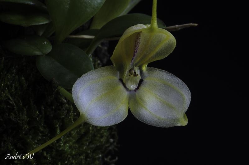 Masdevallia xanthina ssp pallida  Masde199