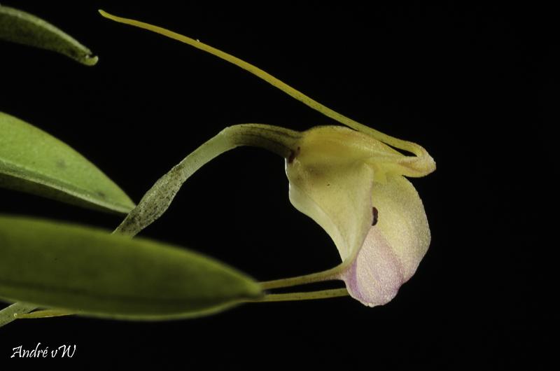 Masdevallia persicina Masde204