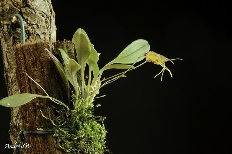 Masdevallia bucculenta Masde237