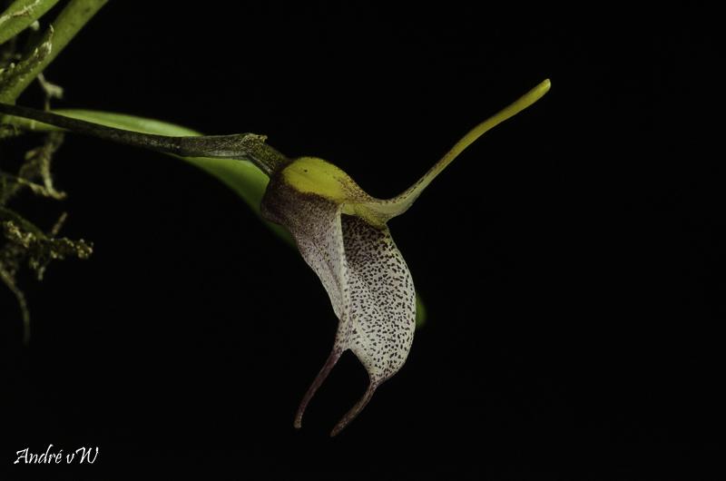 Masdevallia floribunda Masde245