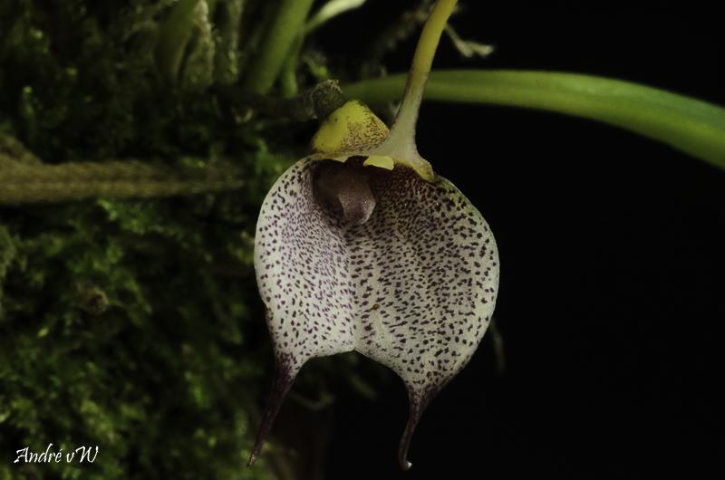 Masdevallia floribunda Masde246