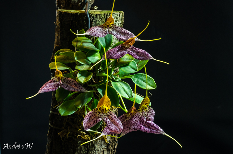 Miniatur-Orchideen Teil 4 - Seite 26 Masdev22