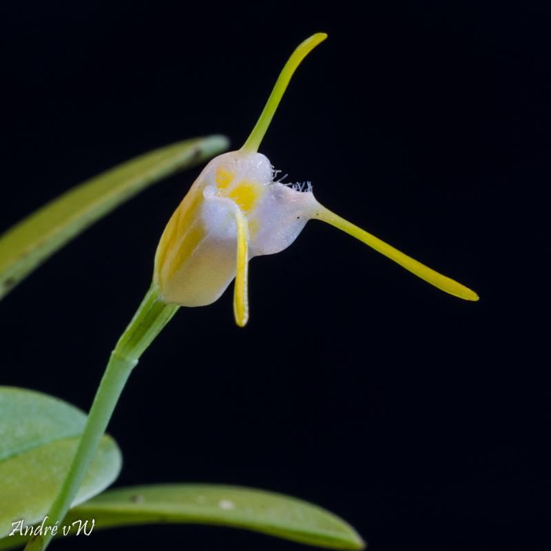 Miniatur-Orchideen Teil 4 - Seite 26 Masdev23