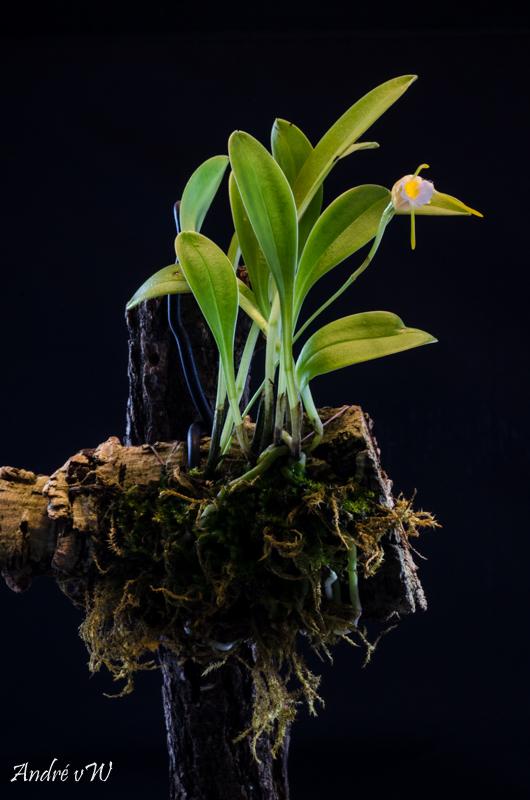 Miniatur-Orchideen Teil 4 - Seite 26 Masdev24