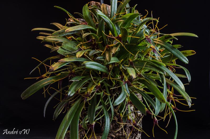 Miniatur-Orchideen Teil 5 Masdev26