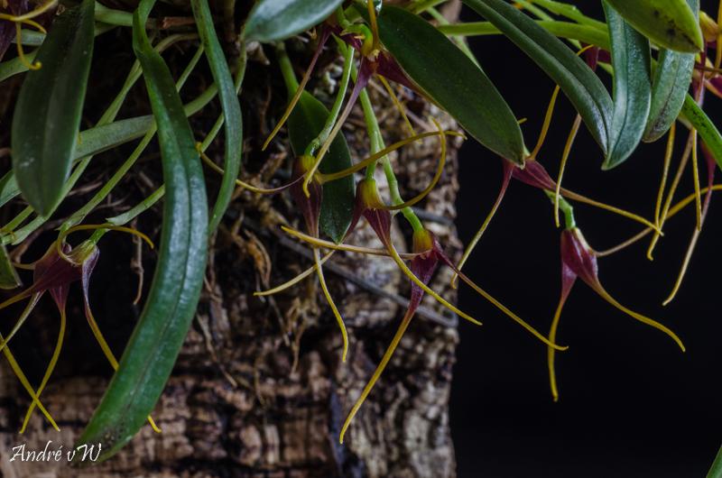 Miniatur-Orchideen Teil 5 Masdev27