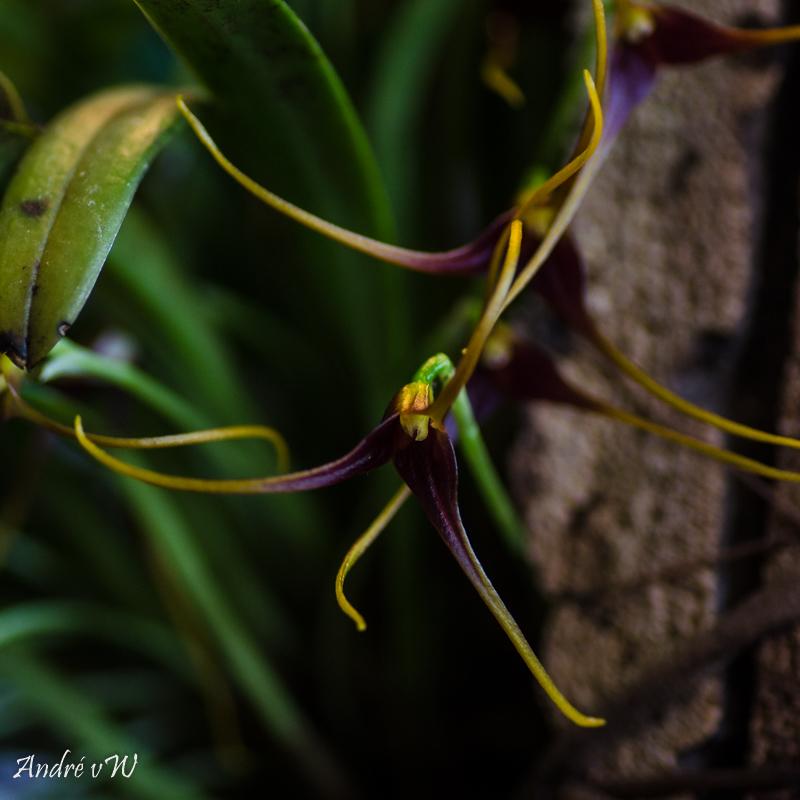 Miniatur-Orchideen Teil 5 Masdev28