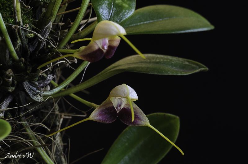 Miniatur-Orchideen Teil 5 - Seite 11 Masdev31