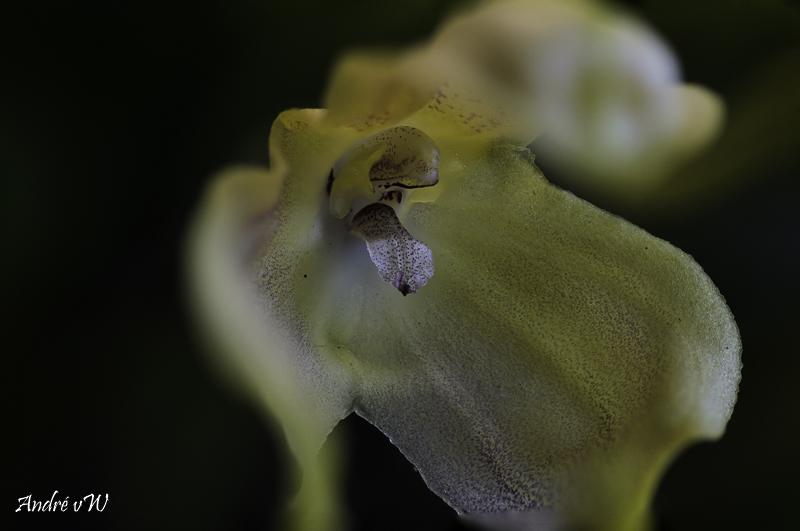 Miniatur-Orchideen Teil 5 - Seite 11 Masdev32