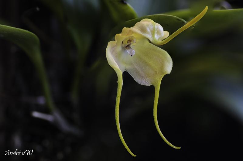 Miniatur-Orchideen Teil 5 - Seite 11 Masdev33
