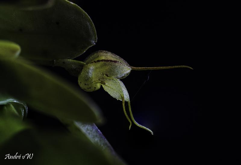 Masdevallia ventricosa Masdev34