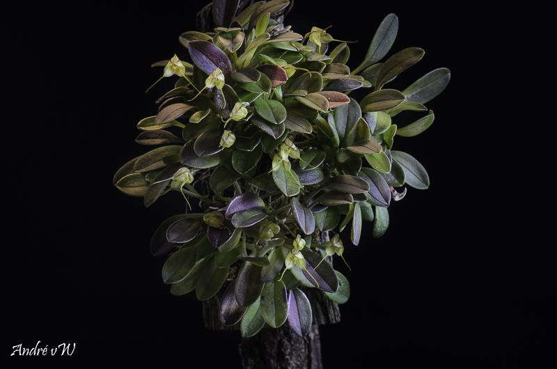 Masdevallia ventricosa Masdev35