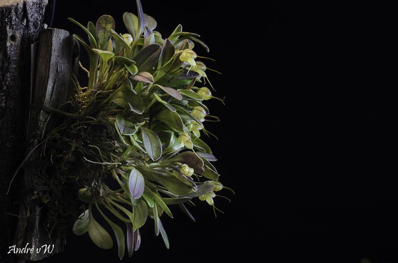 Masdevallia ventricosa Masdev36