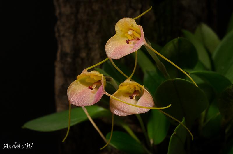 Masdevallia persicina Masdev45
