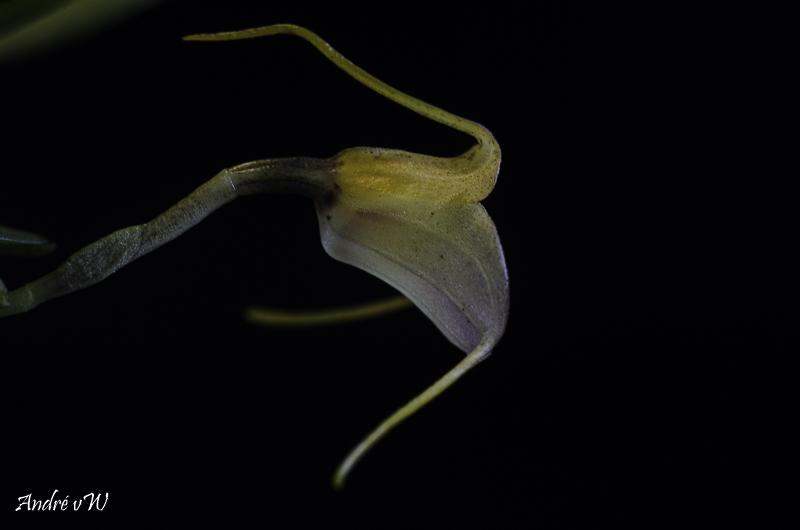Masdevallia persicina Masdev47