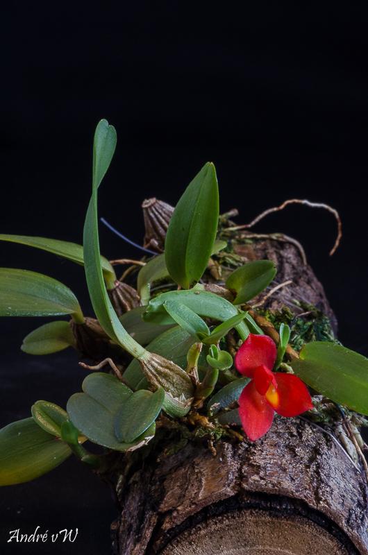 Miniatur-Orchideen Teil 5 - Seite 4 Maxill11