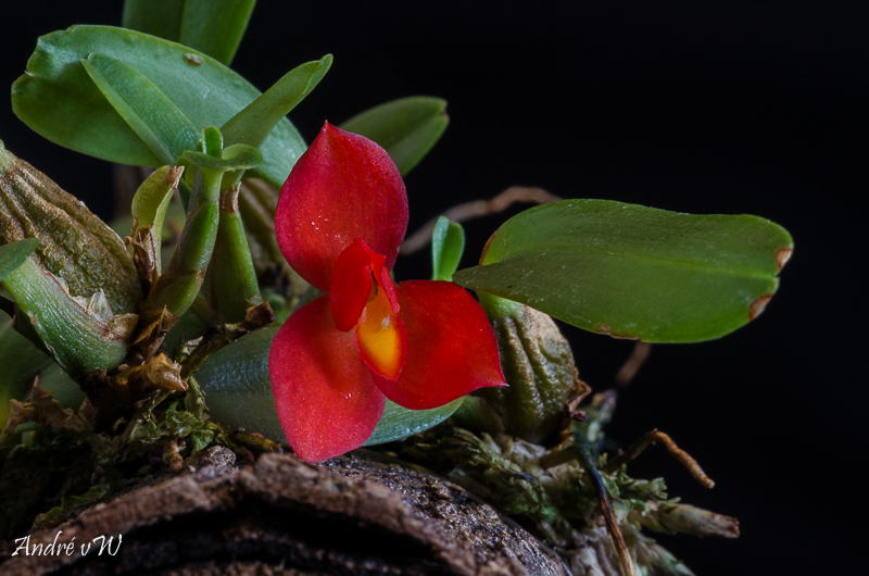 Miniatur-Orchideen Teil 5 - Seite 4 Maxill12