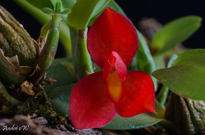 Miniatur-Orchideen Teil 5 - Seite 4 Maxill13