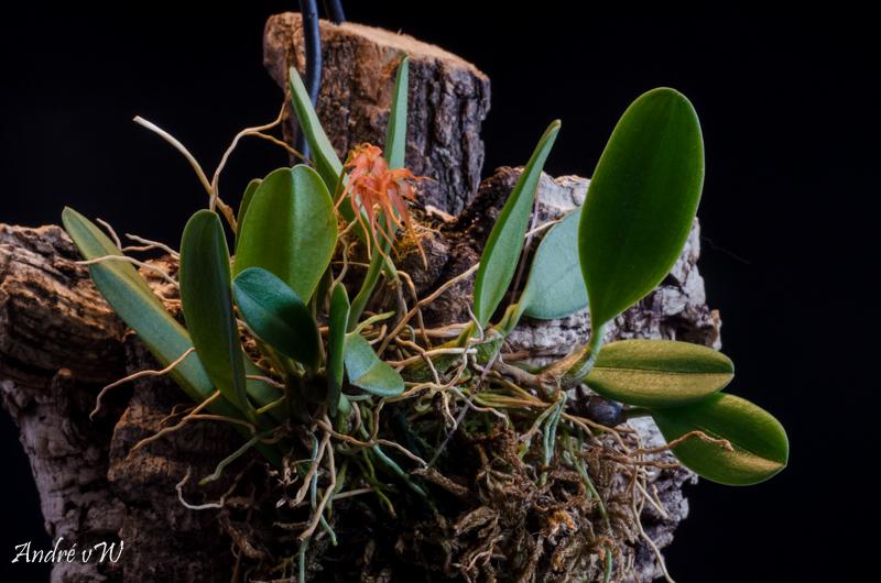 Miniatur-Orchideen Teil 5 Orchid11
