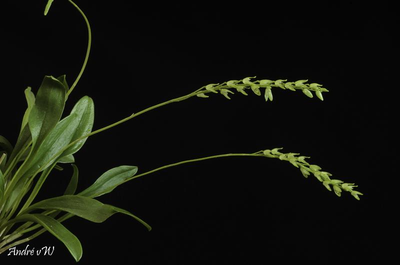 Miniatur-Orchideen Teil 6 - Seite 4 Orchid22