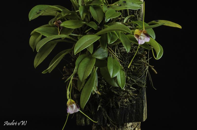 Miniatur-Orchideen Teil 6 - Seite 4 Orchid25