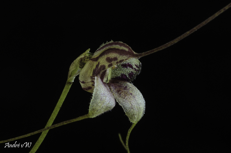 Miniatur-Orchideen Teil 6 - Seite 4 Orchid26