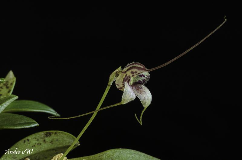 Miniatur-Orchideen Teil 6 - Seite 4 Orchid27