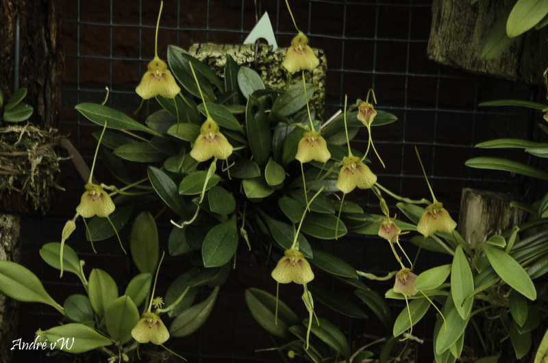 Masdevallia pteroglossa Orchid38