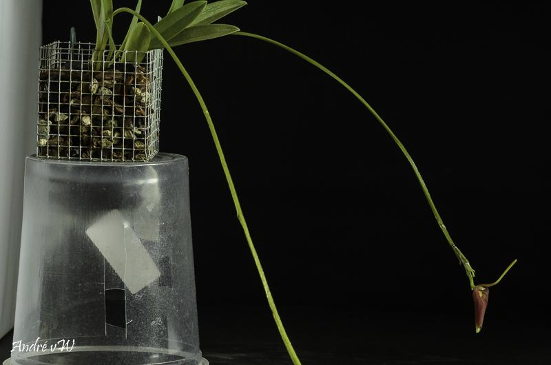 Masdevallia revoluta Orchid39