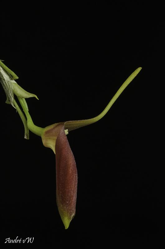 Masdevallia revoluta Orchid40