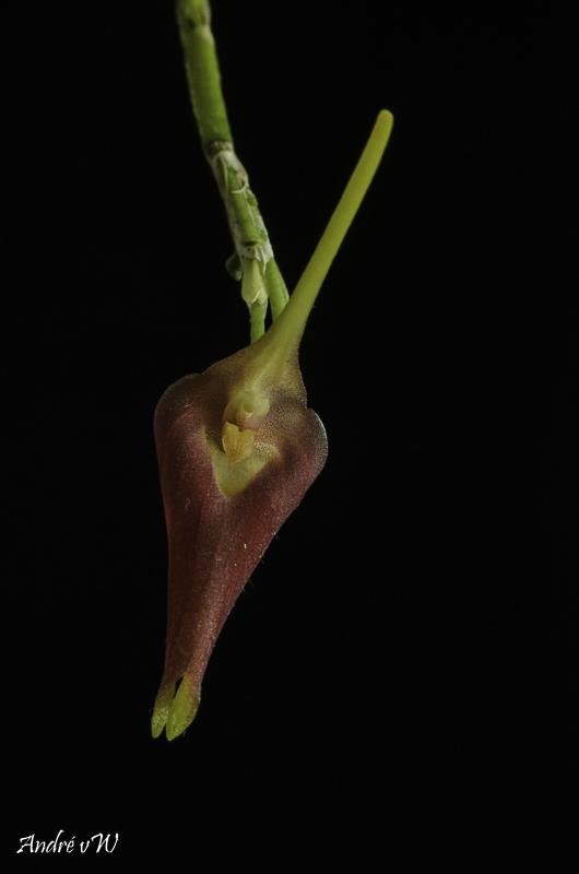 Masdevallia revoluta Orchid41