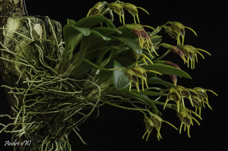Masdevallia garciae Orchid43