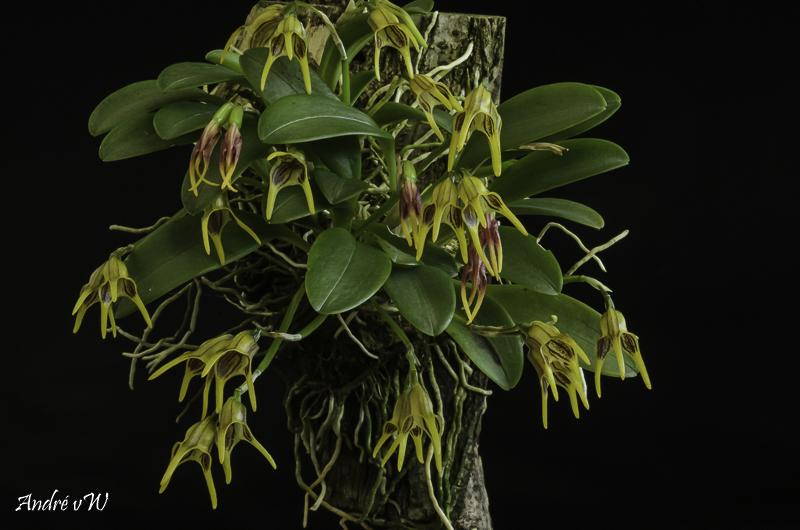 Masdevallia garciae Orchid44