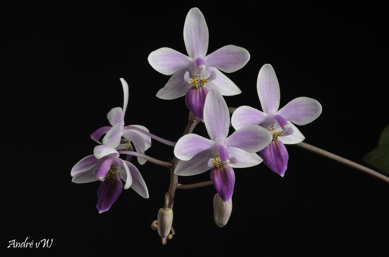 Phalaenopsis lindenii x equestris (Venus) Phalae10