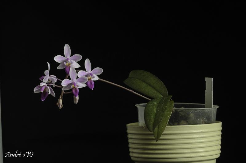 Phalaenopsis lindenii x equestris (Venus) Phalae11