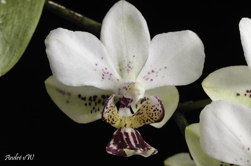 Phalaenopsis finleyi x stuartiana f. punctatissima Phalae12