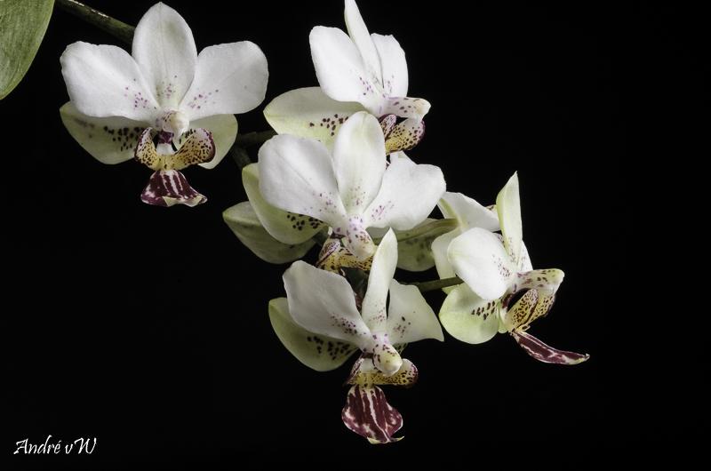 Phalaenopsis finleyi x stuartiana f. punctatissima Phalae13