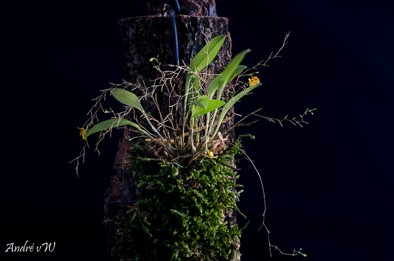 Orchideen-Neuzugang 2 - Seite 4 Pleuro11