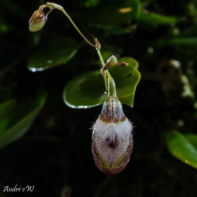 Miniatur-Orchideen Teil 4 - Seite 24 Pleuro19