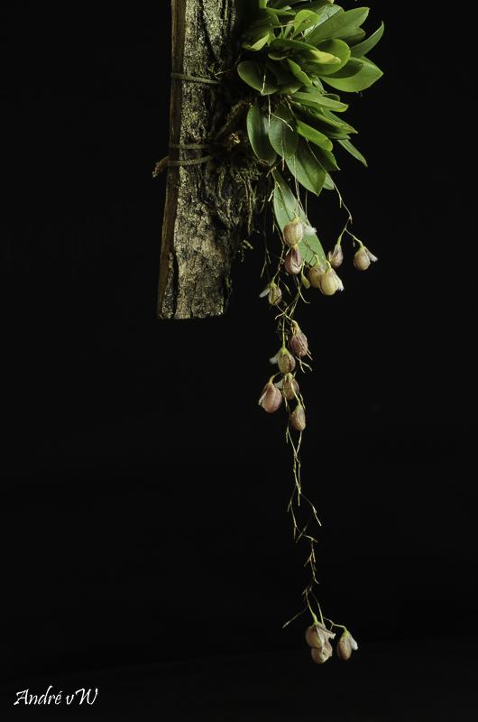 Miniatur-Orchideen Teil 5 - Seite 41 Pleuro35