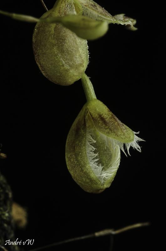 Miniatur-Orchideen Teil 5 - Seite 41 Pleuro36