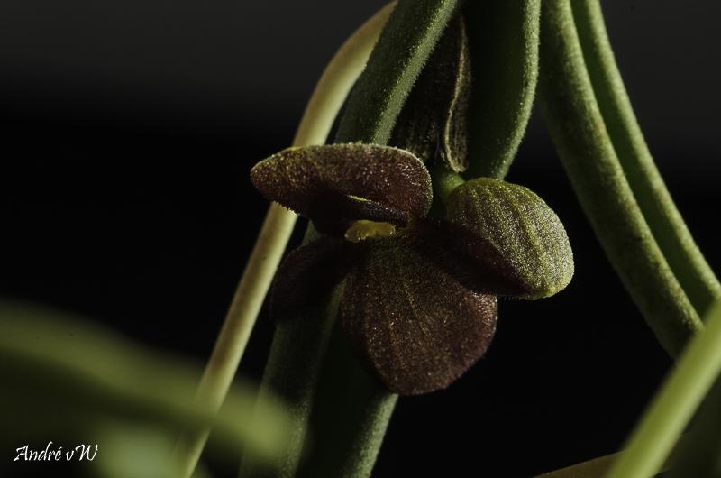 Miniatur-Orchideen Teil 6 Pleuro40